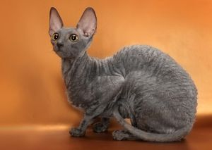 Slatka mačka Cornish Rex