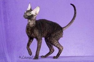 Thin Cornish Rex